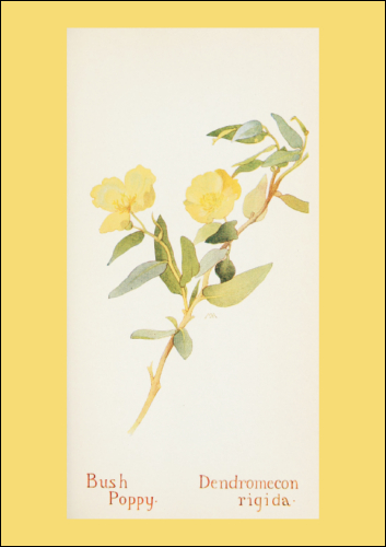 Download - Bush Poppy - A4 Print
